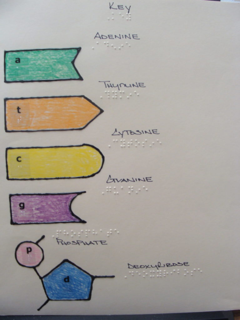 DNA worksheet with braille and color-coded visual adaptations